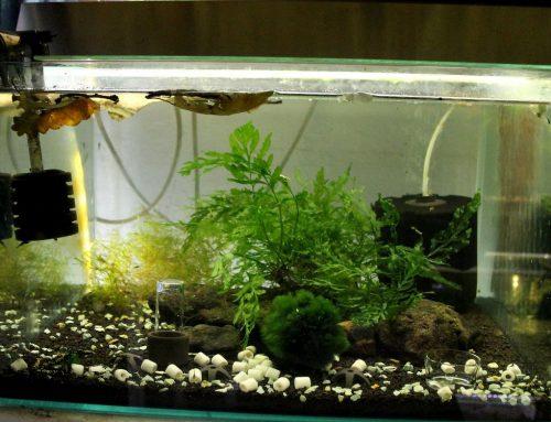 Garnélás akvárium